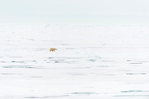 polar bear on ice_DSC6935 as Smart Object-1a