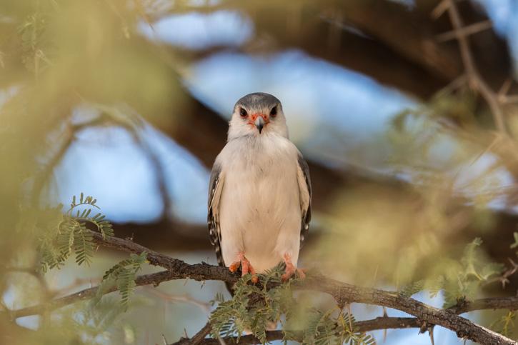 Pygmy Falcon_8506170